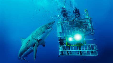 bocca di gabbia il grande squalo bianco divemania it portale subacqueo