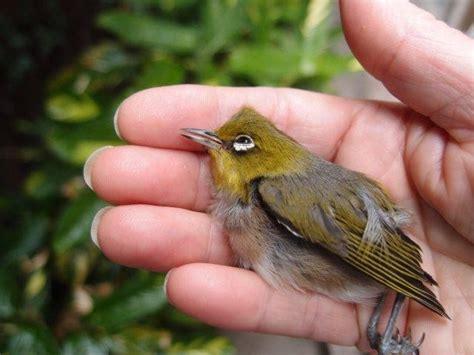 tiny yellow bird birds in backyards