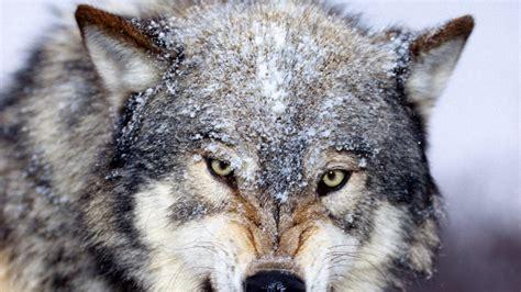 imagenes de animales salvajes en 4k lobo salvaje 1920x1080 fondos de pantalla y wallpapers