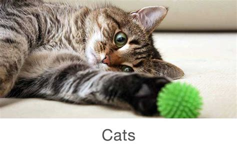 Inidia Cat 16 pet store cats www imgkid the image kid has it