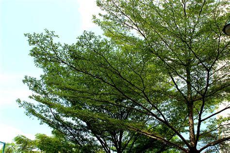 A Tree - a bucida tree will never turn you 171 addgrainonearth