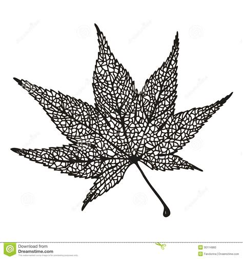 maple leaf drawing stock vector image of tender plant