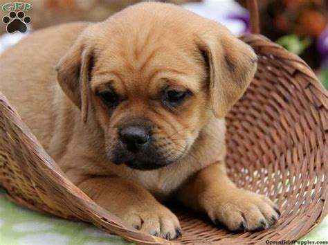 dachshund pug puppies for sale fans for sale and pug on