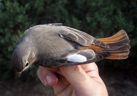 vendita uccelli da gabbia uccelli da gabbia e da voliera maerne fiere