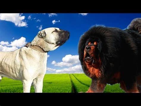 rottweiler vs bullmastiff tibetan mastiff vs gladiator rottweiler vs gr doovi