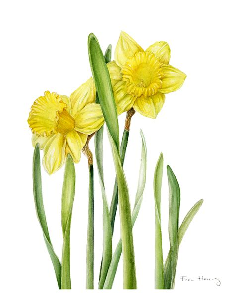 two daffodils painting by fran henig