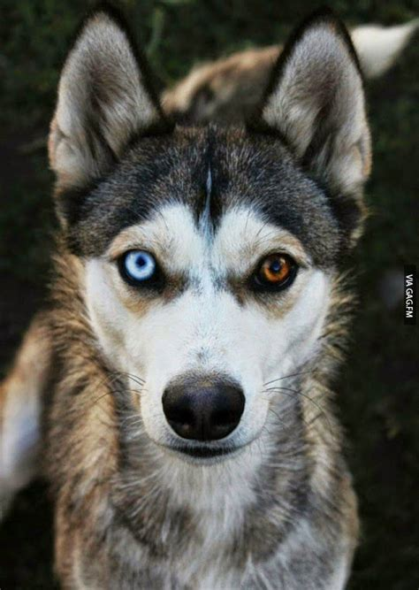 husky with different colored 23 best huskies images on different colored