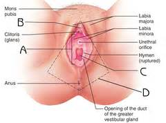 diagram of clitorus reproductive system anatomy flashcards quizlet