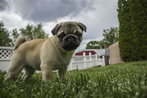 what were pugs bred for lions pug dogs puppies breeds