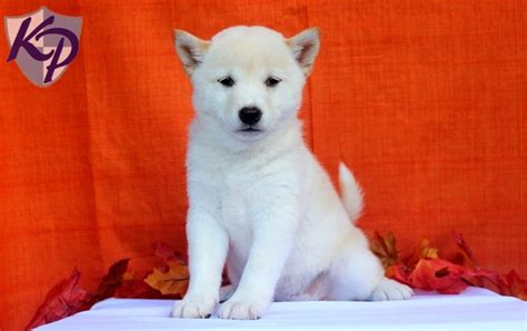 shiba inu puppies for sale in pa 17 best images about shiba inu puppies on westminster show to find