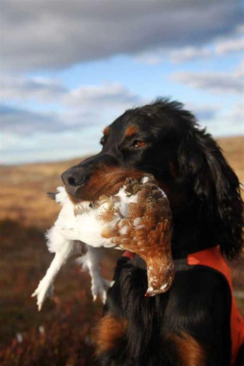 gordon setter dog names pinterest the world s catalog of ideas