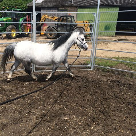 welsh section a for sale registered welsh section a pony chatteris