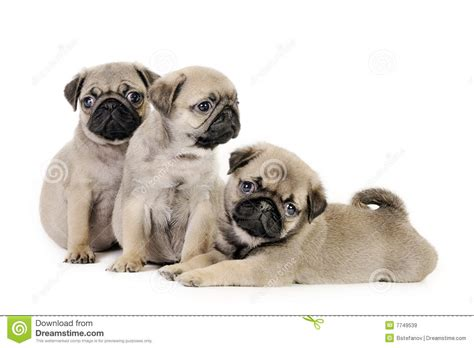 three pugs three pug puppies royalty free stock images image 7749539