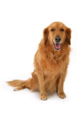 different shades of golden retrievers golden retriever breed information pictures goldie goldens yellow lab