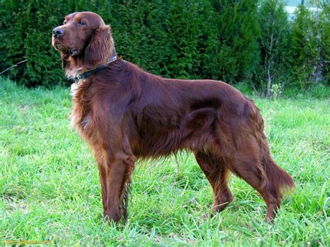 irish setter dog irish setter dog picture