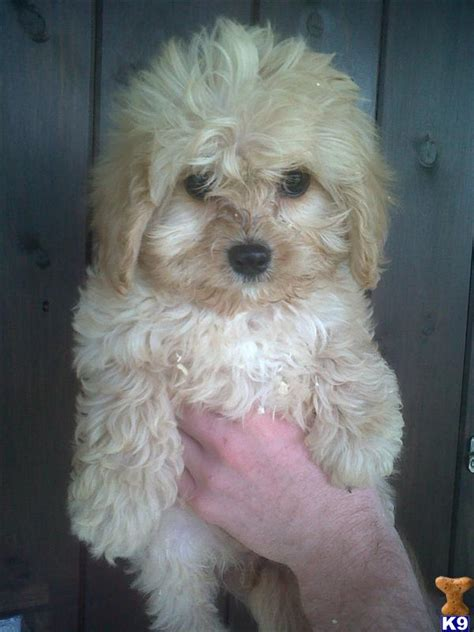 rosedale doodles puppies for sale cavapoo puppies for sale 31630