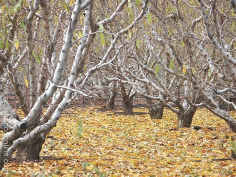Leaf Shedding shedding of leaves