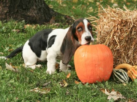 what helps dogs with diarrhea can pumpkin help with diarrhea planet