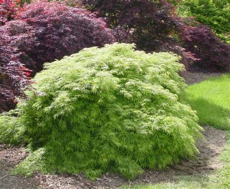 545 best images about japanese maples on gardens and early