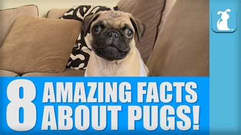 pugs info 8 amazing facts about pugs pug