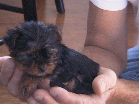 teacup yorkie puppies for sale uk teacup yorkie poo puppies for sale breeds picture