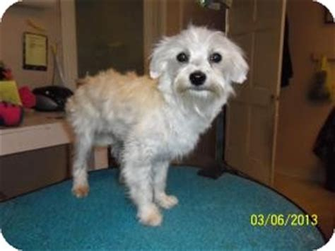 maltese in chinese maltese chinese crested mix puppy for adoption in shawnee
