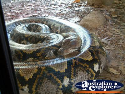 australia zoo boa constrictor  cage photograph
