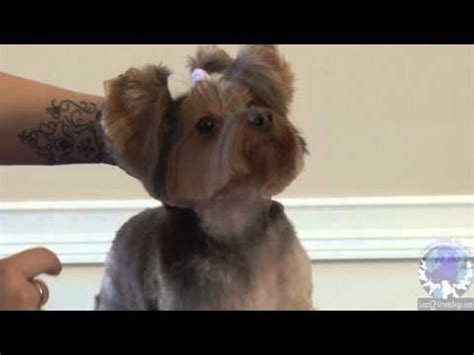 yorkie glands bathing a yorkie including glands and ear trim funnycat tv
