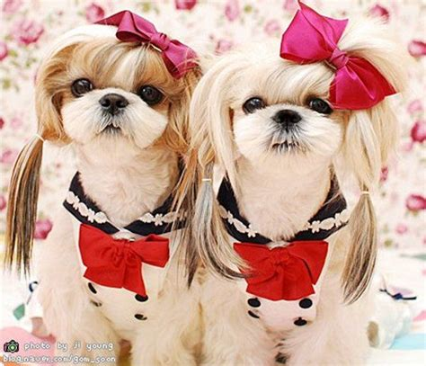 shih tzu hairstyles for females girl shih tzu hairstyles hairstylegalleries com