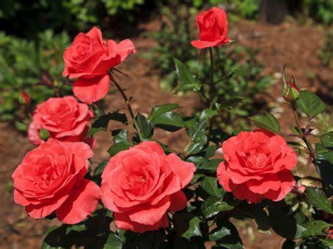rose farming information detailed guide agrifarming in