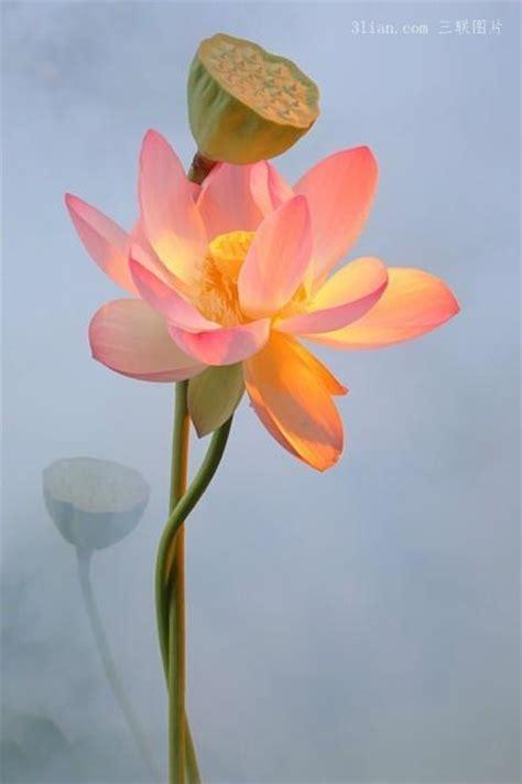 Coral Color 孤傲的莲花图片