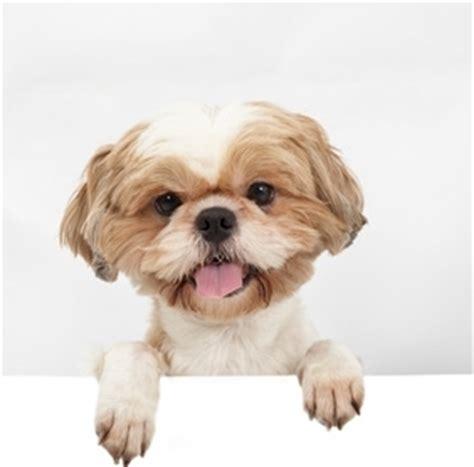 raising a shih tzu shih tzu small family dogs
