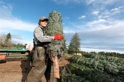 boughs poinsettias holly offer niche for oregon farmers