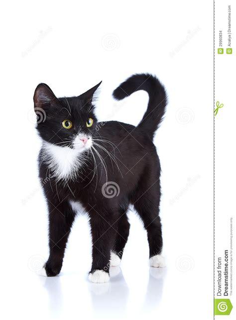 imagenes blanco y negro de gatos gato blanco y negro imagenes de archivo imagen 29960834