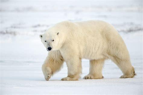 Bears White polar free large images