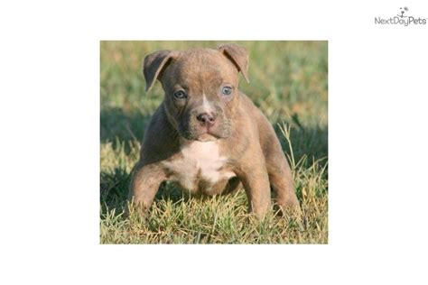 pitbull puppies for sale in oklahoma american pit bull terrier puppy for sale near oklahoma city oklahoma fd6cec81 83a1