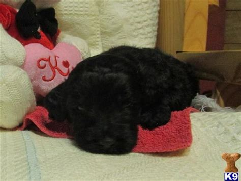 goldendoodle puppies for sale in ky goldendoodle puppies for sale in ky www proteckmachinery