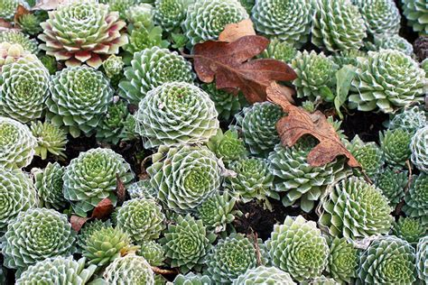 how often to water succulents in winter