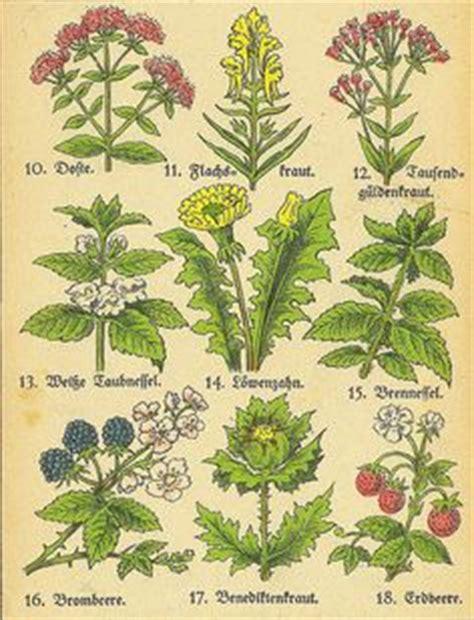 Kräuter Pflanzen Bestellen 81 by Kr 228 Uter Heilkr 228 Uter Wildkr 228 Uter Gartenkr 228 Uter Buch Der