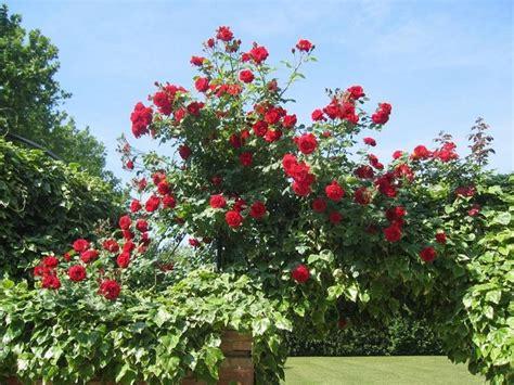 coltivazione fiori fiori rosse fiori di piante rosse fiori