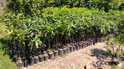 Jual Bibit Arwana Malang bibit tanaman murah jual bibit mangga di malang