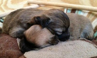 pomeranian puppies for sale adelaide pomeranian puppies for sale adelaide australia free classifieds muamat