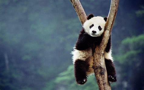 Panda And Terbaru gambar panda lucu serta asal usul panda ayeey