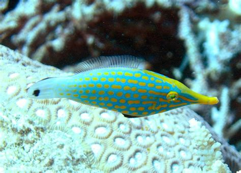 about orange spotted filefish