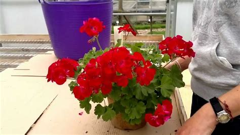 how to cut back pelargoniums geraniums youtube