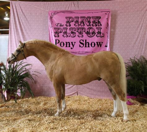 section b welsh pony section b welsh ponies