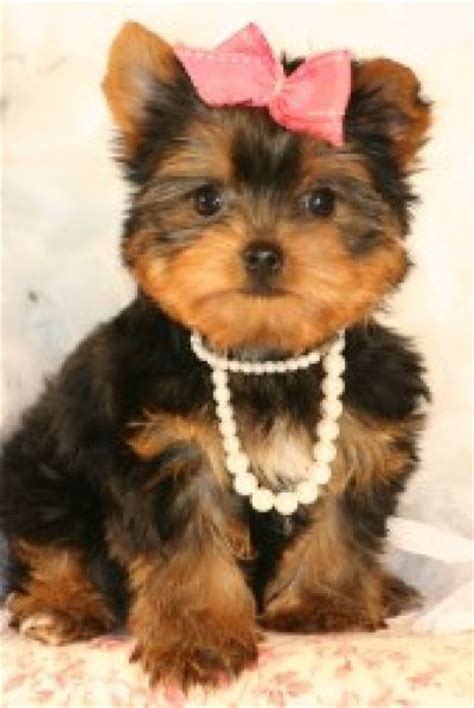 how big are teacup yorkies big adorable teacup yorkie puppies for adoption 101 jpg litle pups