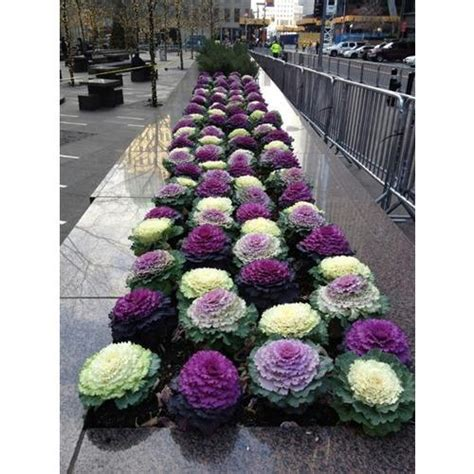 cabbage ornamental mix flowering cabbage ornamental mix boondie seeds