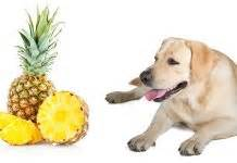 is pineapple bad for dogs can dogs eat apples and other fruit the labrador site