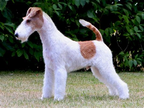 Wire Fox Terrier Shedding by Wire Haired Rat Terrier Breeds Breeds Picture
